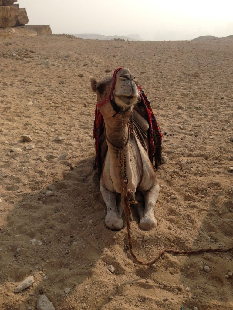 Egyptian pyramids - A camel laying on the ground