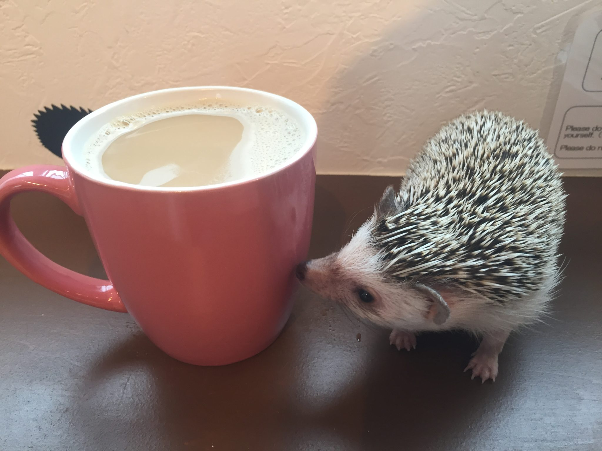 Harry hedgehog cafe - Pokey and coffee