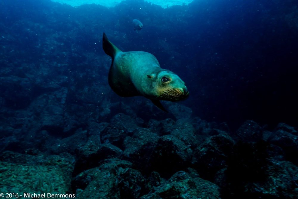 sea lion up close underwater