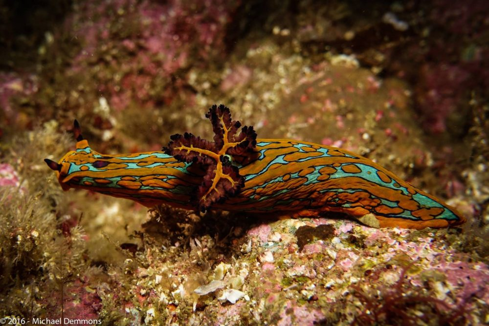 a nudibranch orange with green stripes