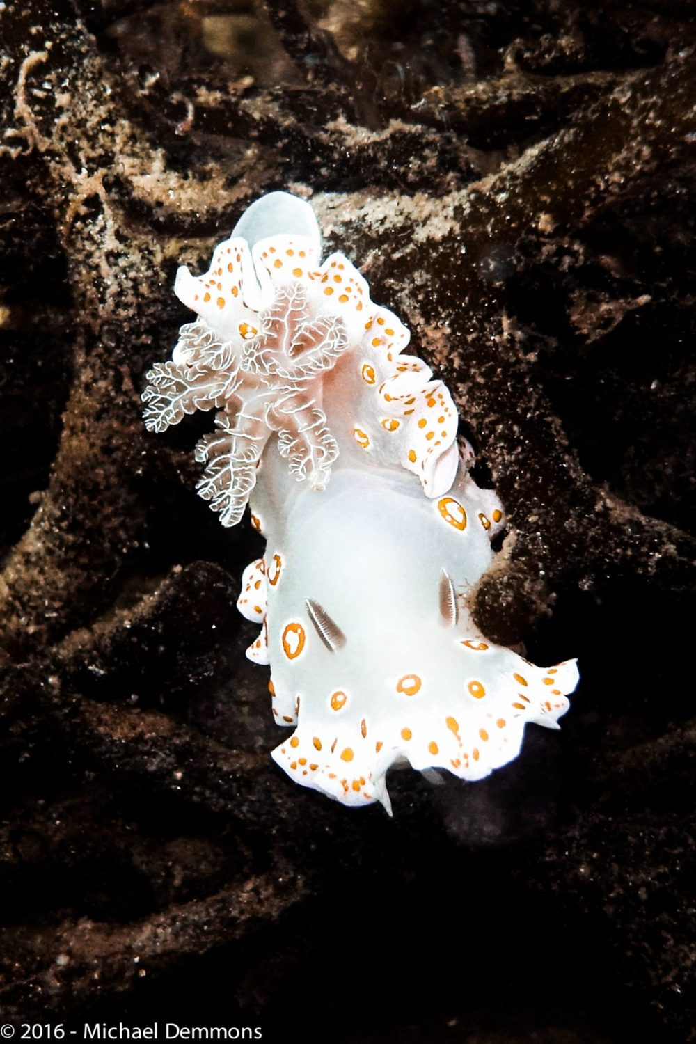 a beautiful white nudibranch with orange spots