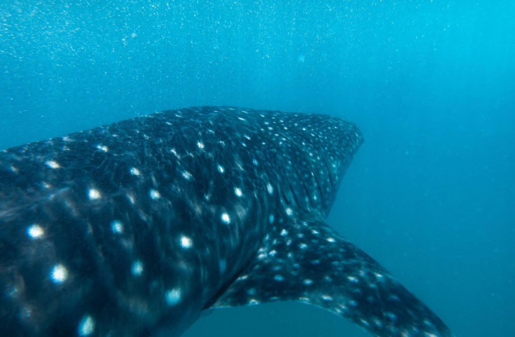 Photo of a whale shark