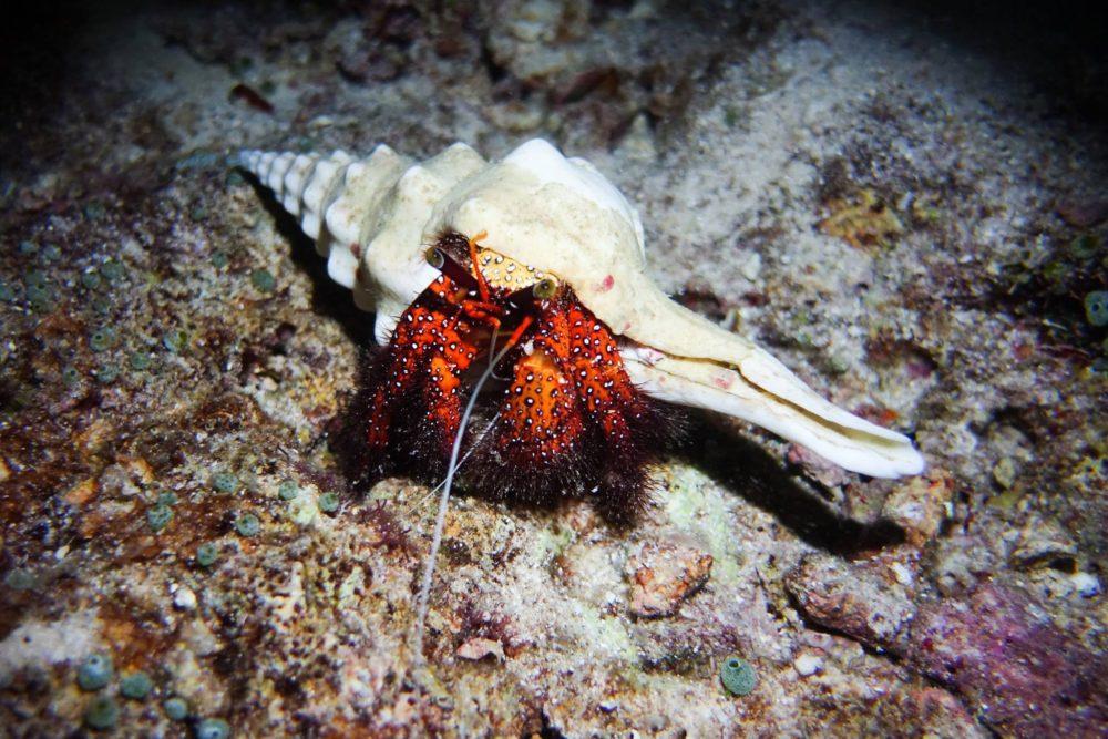 Raja Ampat Liveaboard - Hermit crab