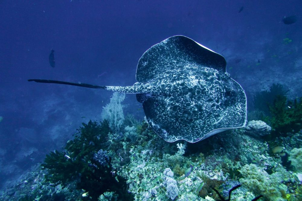 Marble ray in Indonesia - also known as a black blotch fantail ray