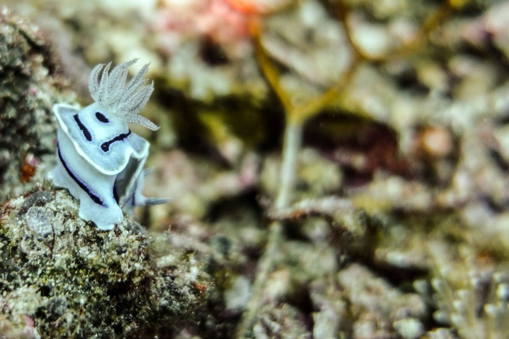 Raja Ampat Liveaboard - White nudiobranch