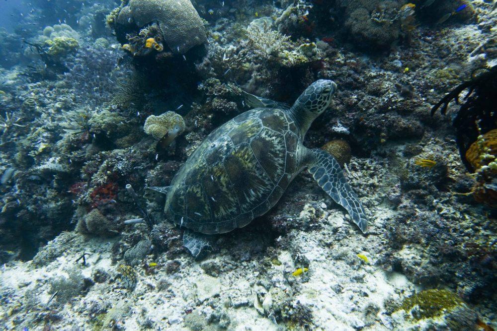 Raja Ampat Liveaboard - Sea Turtle