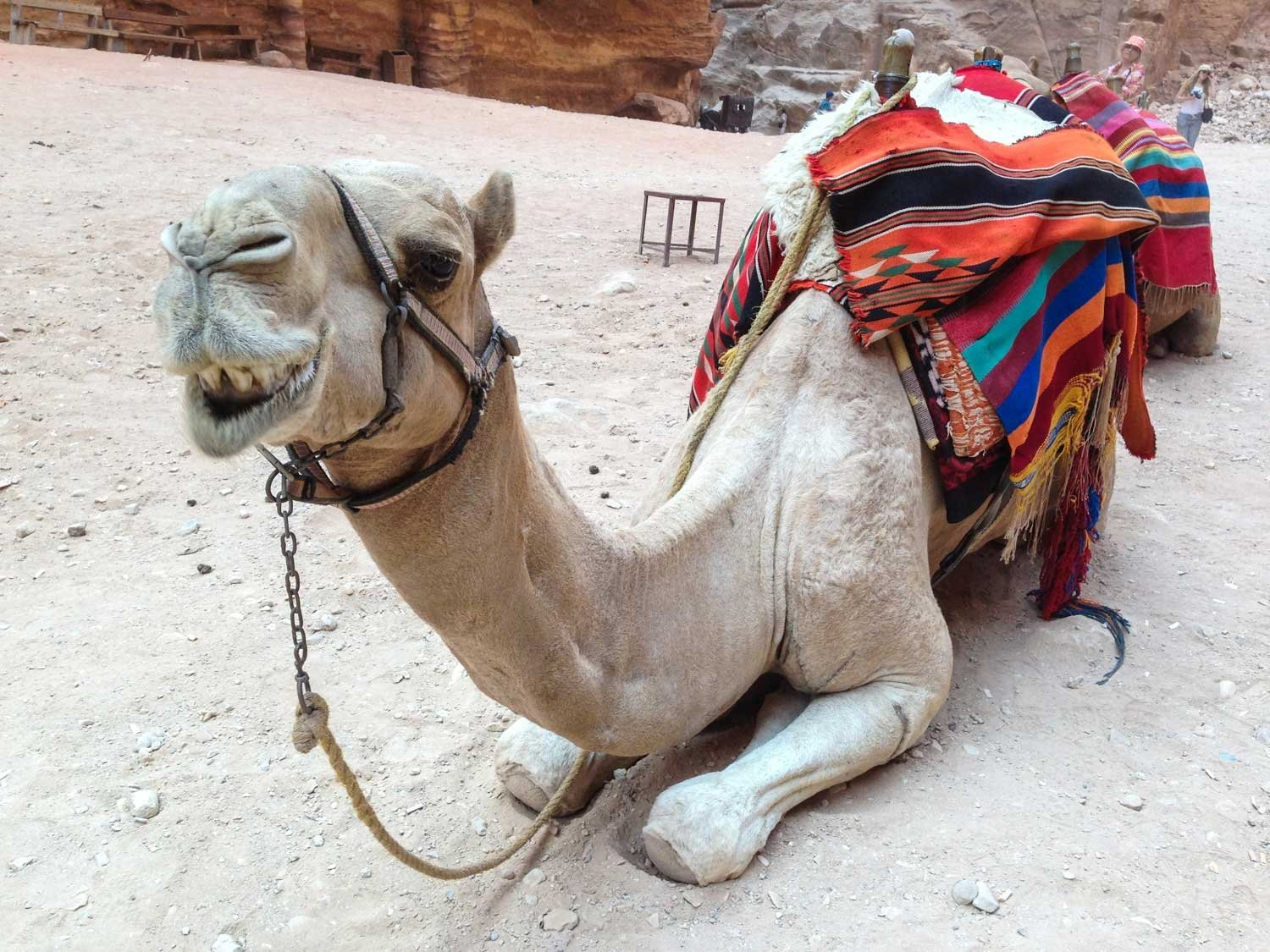 Highlights of Petra - a camel with what appears to be marks from a whip or stick