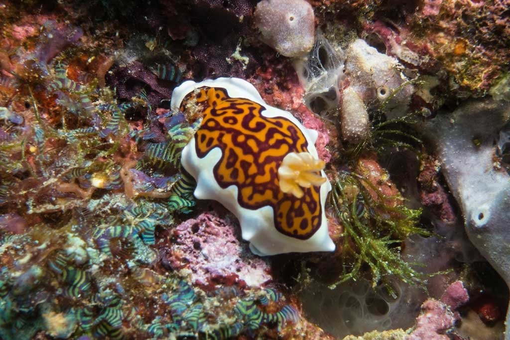 Dive the maldives - Another beautiful nudibranch