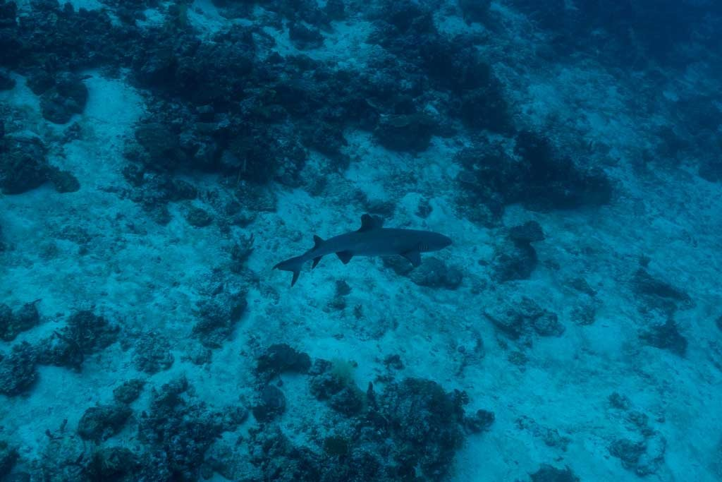 Dive the maldives - A white tip shark