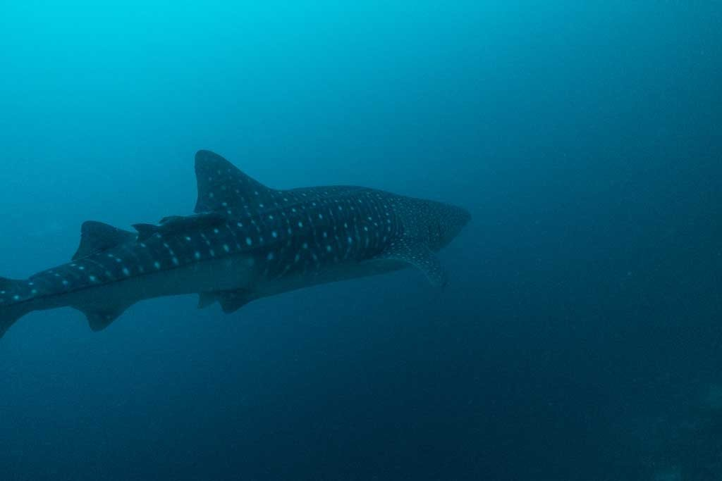 Dive the maldives - Whale shark