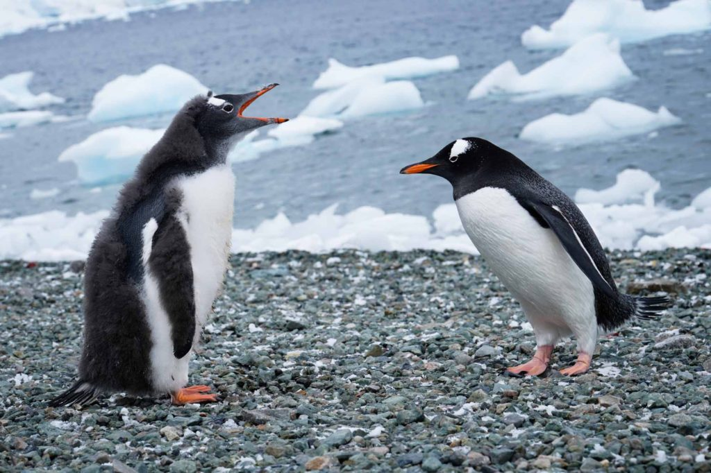Antarctica in March brings out a lot of Gentoo penguins