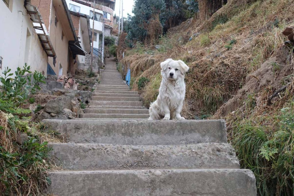 A white dog sitting on the stairs in our Cusco neighborhood