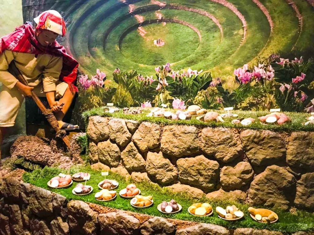 Cusco Museum of Regional History exhibit. A figure of a person planting potatoes in Moray
