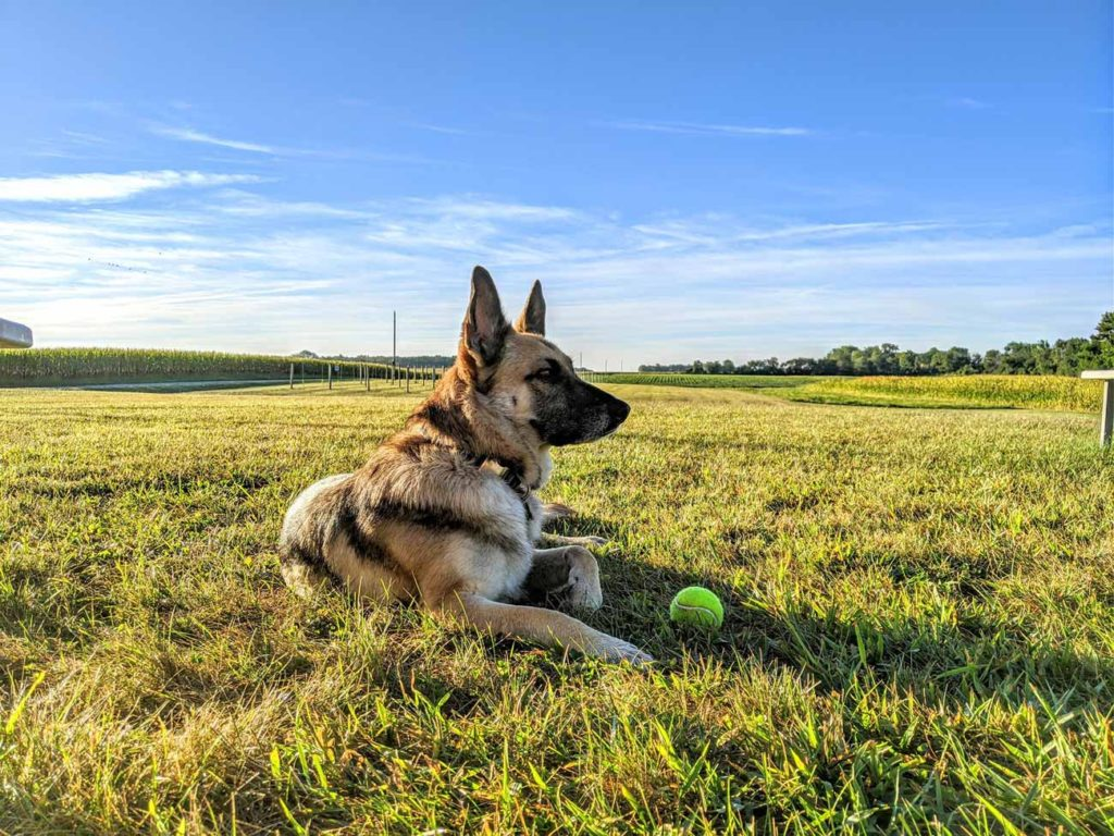 Our German Shepherd, Kana, laying in a field at Carpenter Creek Cellars - a fantastic winery in Indiana.