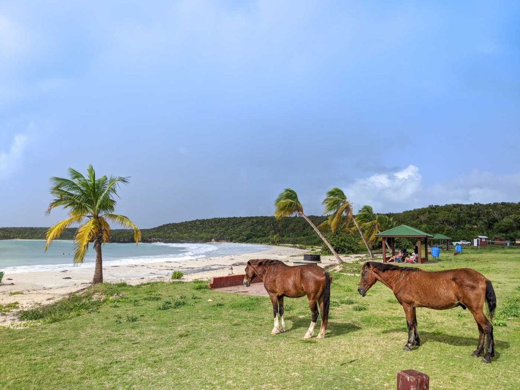 Horses on a beach in Vieques that's inaccessible without some sort of transportation.